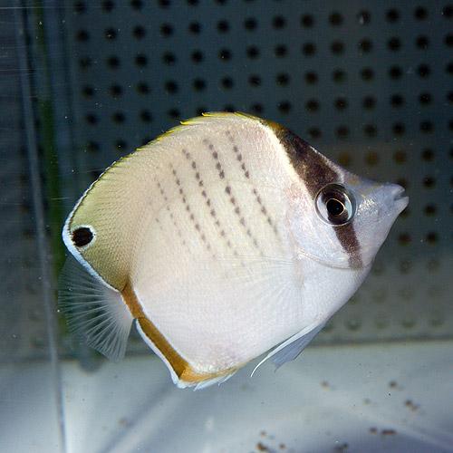 ウェスト・オーストラリアンバタフライ SS〜Sサイズ (海水魚)