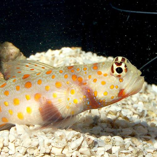 ヤマブキハゼ (海水魚)