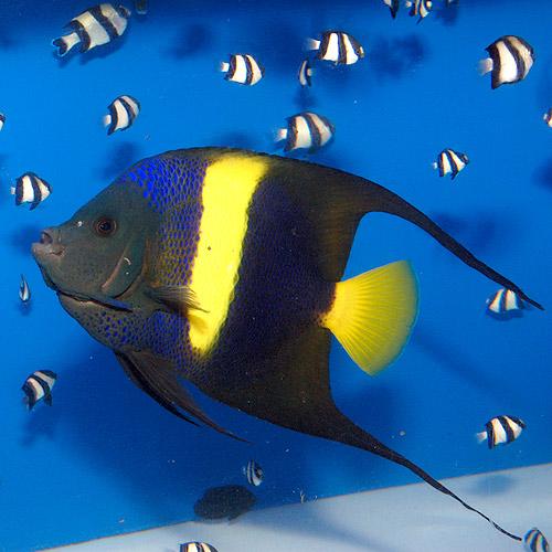 アズファー  ML〜Lサイズ (海水魚)