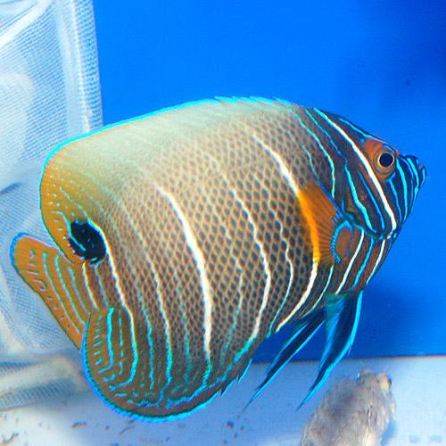 アデヤッコ    (亜成魚)(海水魚)