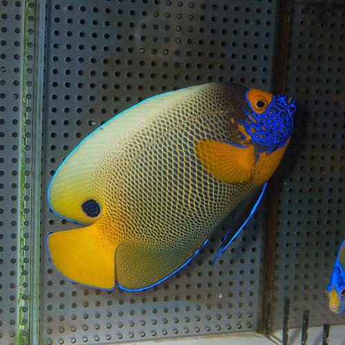 アデヤッコ   ML〜Lサイズ (海水魚)