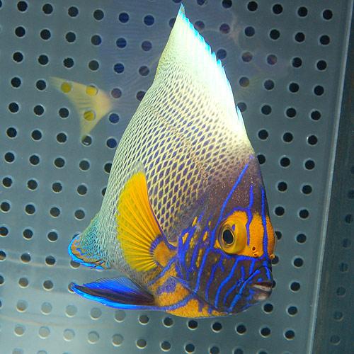 アデヤッコ   SM〜Mサイズ (海水魚)