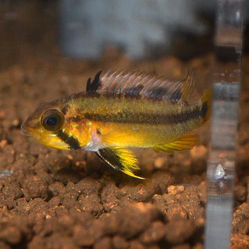 Ap アタフアルパ リオ・イタヤ 1Pr 2201j (熱帯魚)