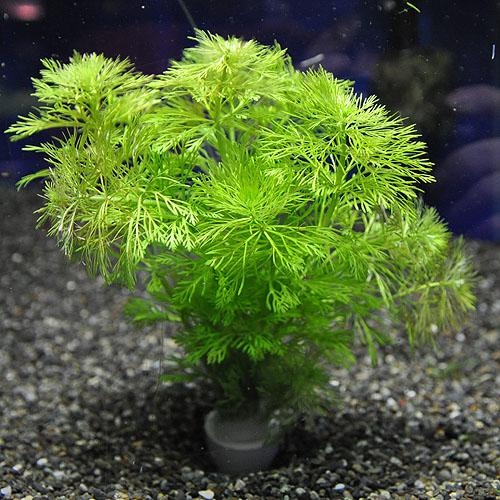 アンブリア 1POT (水草)