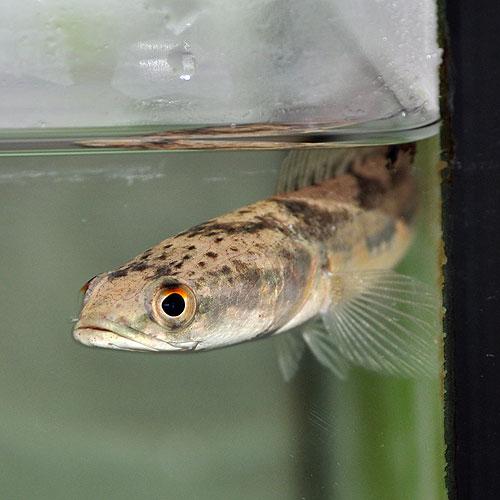 イザベラスネークヘッド(熱帯魚)