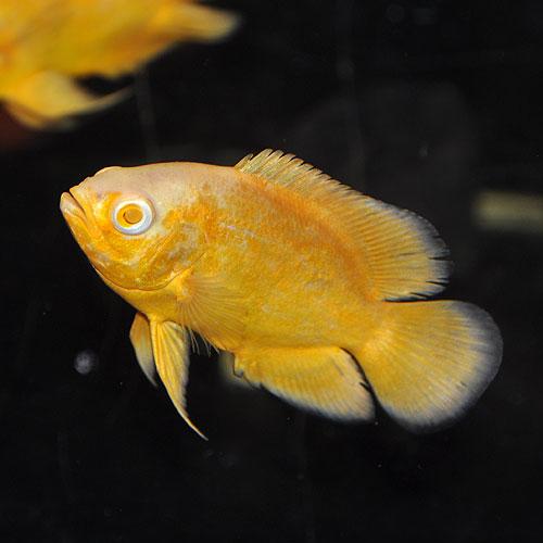 アルビノレモンオスカー(熱帯魚)