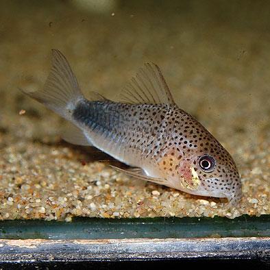 Co.シミリス 3匹(2匹+1匹サービス)(熱帯魚)