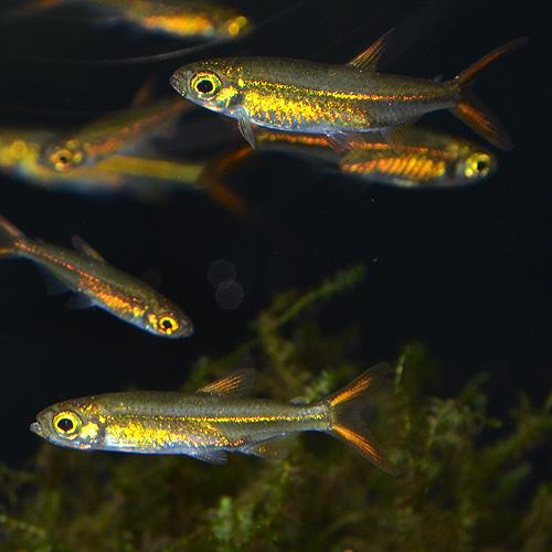 ジェリービーンテトラ(ワイルド) 合計5匹(4匹+1匹サービス) (熱帯魚)