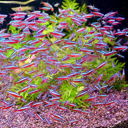 カージナルテトラ Lサイズ  5匹 (熱帯魚)