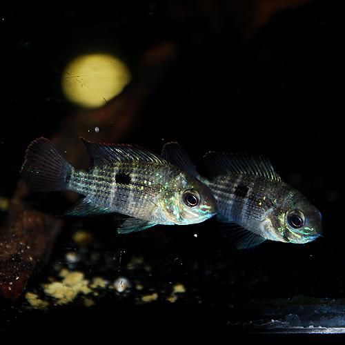 グリーンテラー(SMサイズ) (熱帯魚)