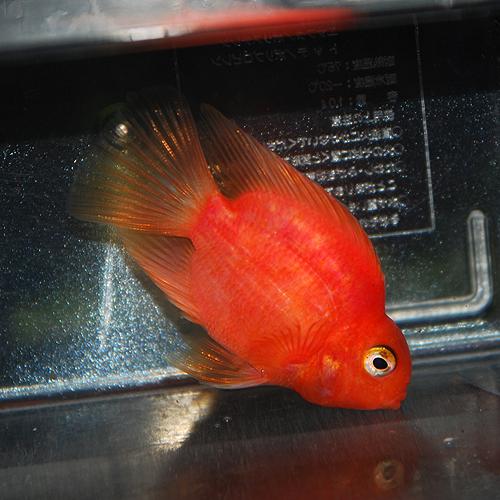 パロットファイヤー・シクリッド (パープル)       (熱帯魚)