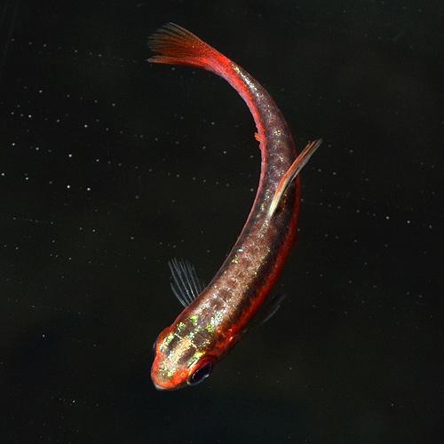 アークレッド・ペンシル 1匹(熱帯魚)