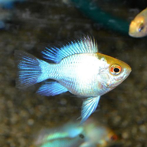 ゴールデンコバルトバルーンラム 2匹 (熱帯魚)