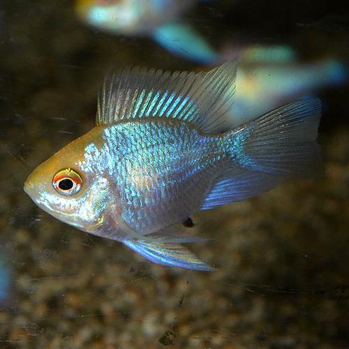 ゴールデンコバルトバルーンラム 1匹 (熱帯魚)