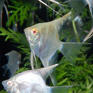 レッドアイ・ダイヤモンドエンゼル SMサイズ 1匹(熱帯魚)