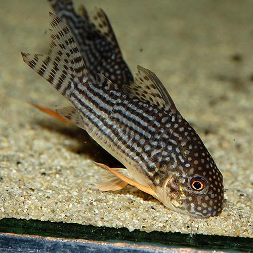 Co.ステルバイLサイズ (ブリード個体)1匹(熱帯魚)