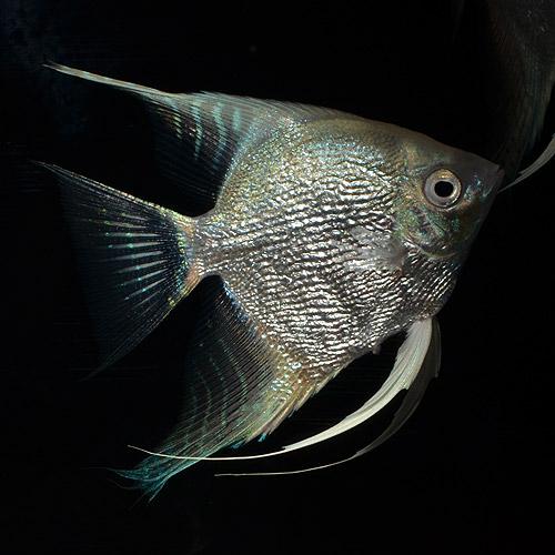 プラチナダイヤモンドエンゼル ML〜Lサイズ 大人買い9匹セット (熱帯魚)