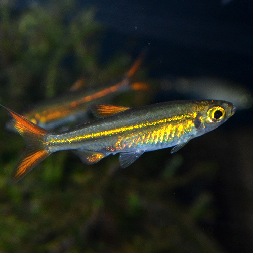ジェリービーンテトラ Sサイズ (ワイルド) 1匹 (熱帯魚)