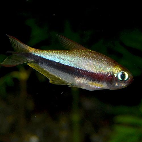 エンペラーテトラ・ワイルド 1匹 (熱帯魚)