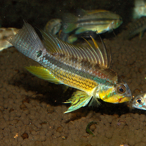 Ap ユルエンシス ペア ペルー産(ワイルド) (熱帯魚)