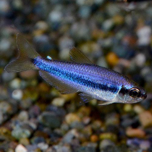 インパイクティス・ケリー 1匹 ワイルド個体 (熱帯魚)