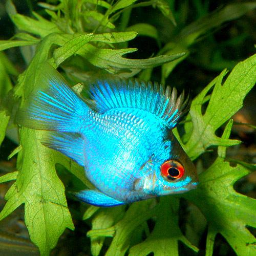 【特価】コバルトブルーバルーンラミレジィ 2匹(熱帯魚)