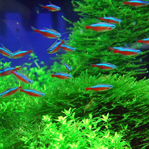 カージナルテトラ  SMサイズ 1匹 (熱帯魚)