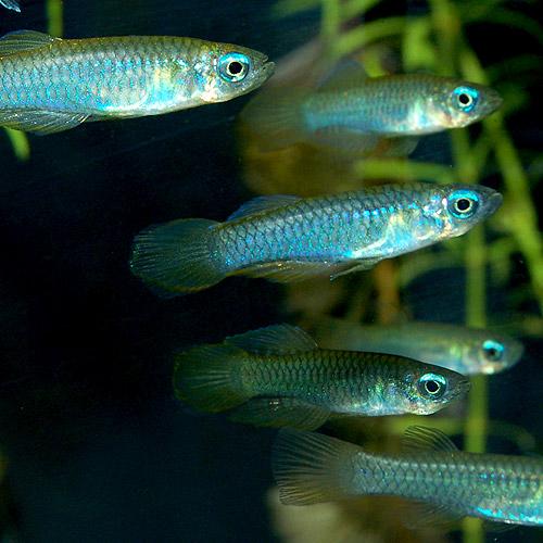 アフリカンランプアイ  SMサイズ 合計10匹(8匹+2匹サービス)(熱帯魚)