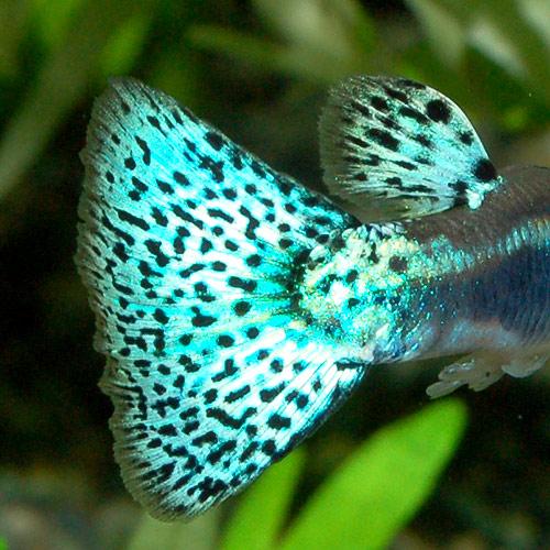 <所沢グッピー> ブルーグラス 3pr (熱帯魚)