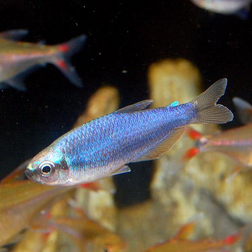 インパクティスケリー スーパーブルー 3匹 (熱帯魚)
