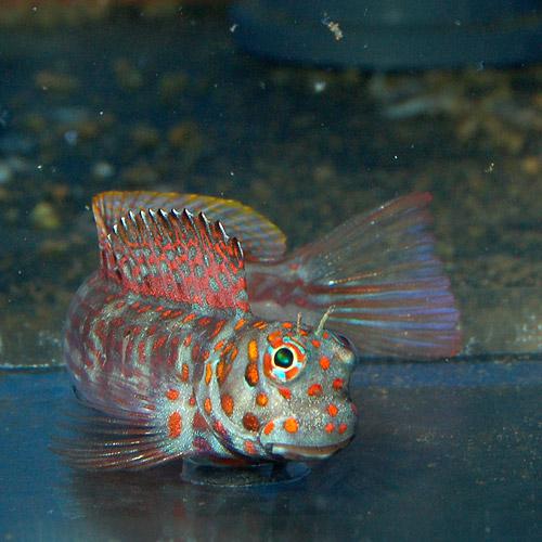 オレンジスポットブレニー (海水魚)