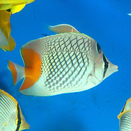 アミメチョウ SM〜Mサイズ (海水魚)
