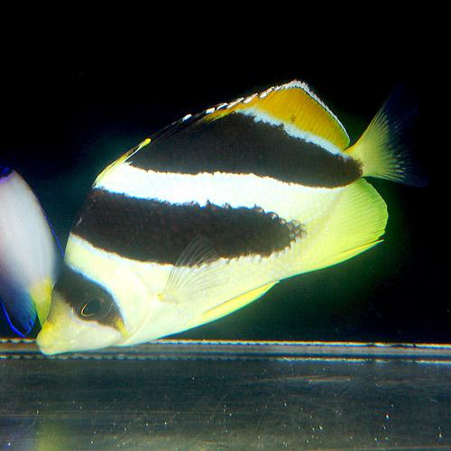 インディアンバタフライフィッシュ ML〜L (海水魚)