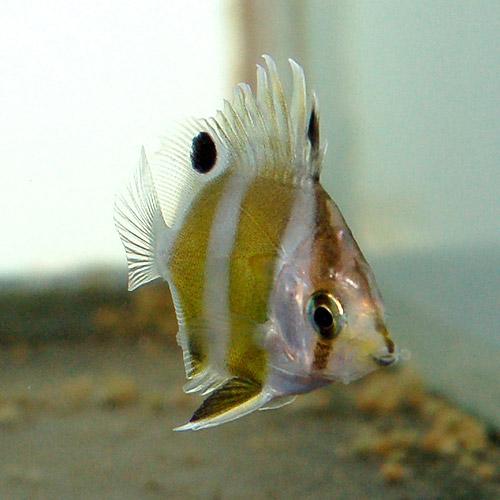 ゲンロクダイ SS (海水魚)