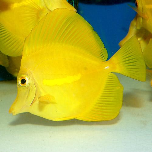 キイロハギ   M〜MLサイズ (海水魚)