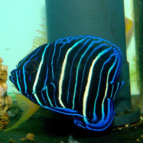 アデヤッコ    幼魚 (海水魚)