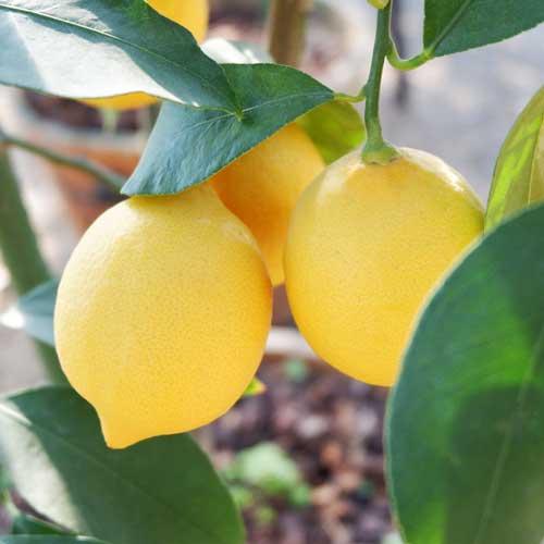 レモン5mL