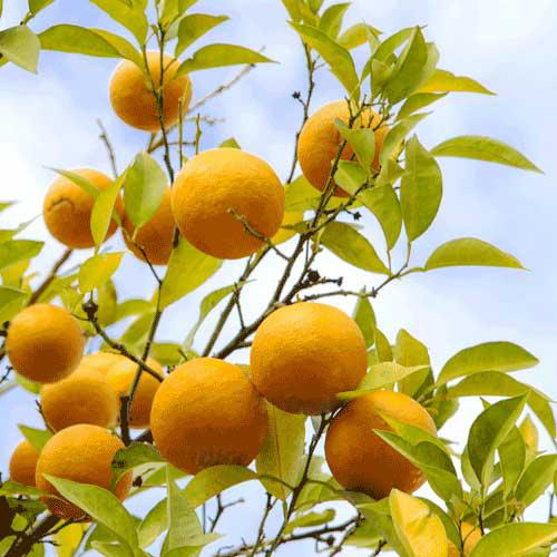 ビターオレンジ5mL