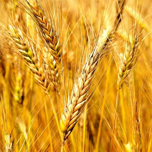 小麦胚芽オイル(未精製)30mL