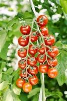 ミニトマト リトルジェムプレミアム 1000粒