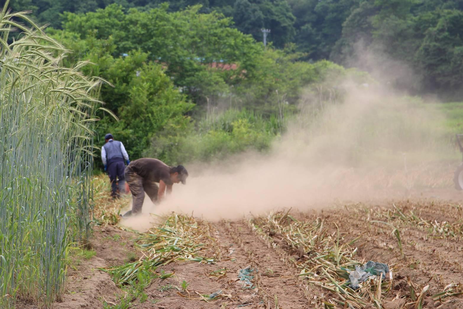 【送料無料 & 感謝期間中】 青森県 田子町 黒にんにく 1kg たっぷり にんいく生産者種子さんの黒にんにく!