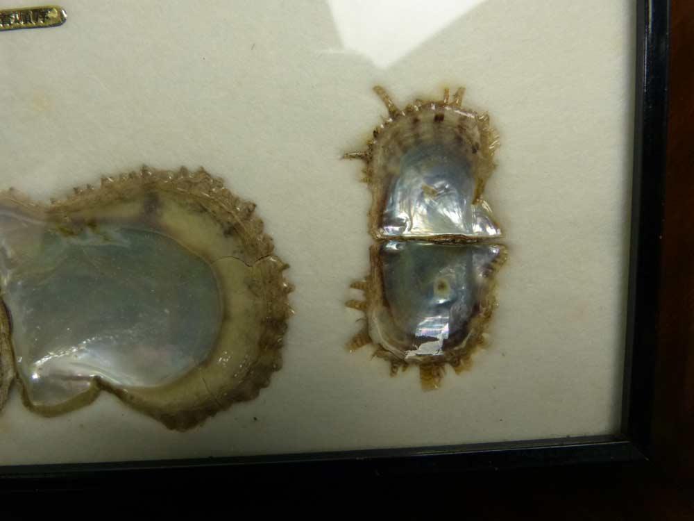 CULTURED PEARL パール 真珠 貝殻 標本  パール 額縁 (インテリア)額装【中古】