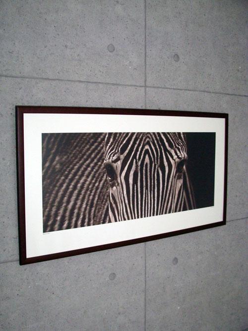 Zebra Grevy(マリナ カーノ)【f】