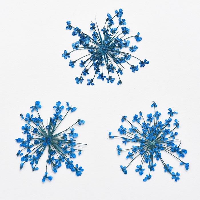 ドライフラワー(押し花) レースフラワー ブルー