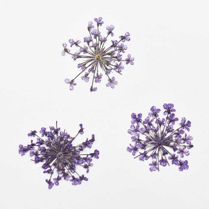 ドライフラワー(押し花) レースフラワー パープル