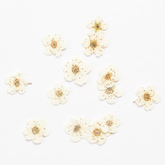 ドライフラワー(押し花) こでまり ホワイト