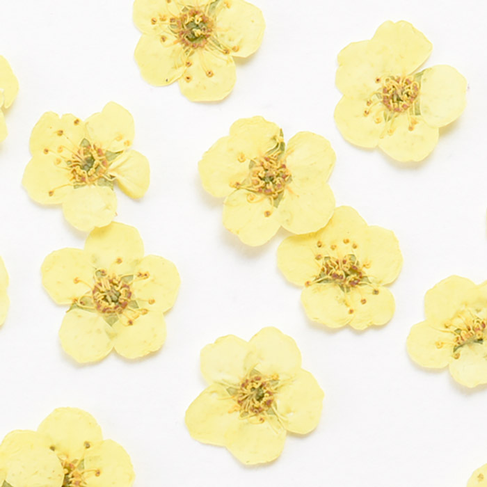 ドライフラワー(押し花) こでまり レモンイエロー