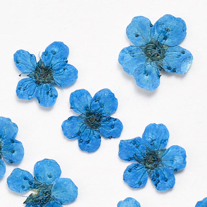 ドライフラワー(押し花) こでまり コバルトブルー