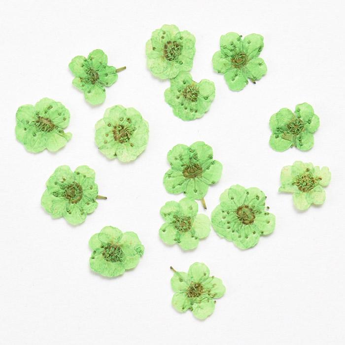 ドライフラワー(押し花) こでまり グリーン