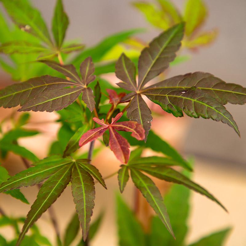 【直送商品A】ボリスの盆栽 紅葉